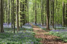 Hiking in Hallerbos (Belgium) - best time to visit is in april/may when there is a blue flower carpet