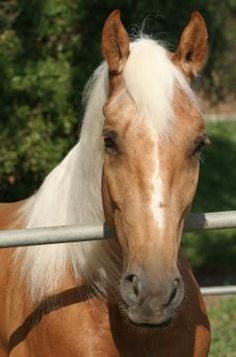 Famous Palomino Horse is Roy Roger's  horse Trigger