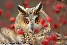 Owl glare - Régis Cavignaux - Wildlife Photographer of the Year2007