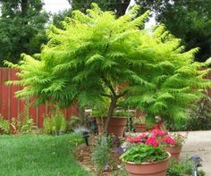 Use caution when planting Tiger Eyes® Cutleaf Staghorn Sumac. This is not a plant for small space gardeners