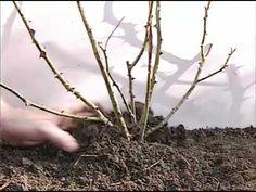 Cette vidéo montre comment tailler ses rosiers à petite ou grosse fleur, nains, buisson ou grimpant selon leur période de floraison. Il est montré que…