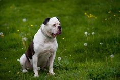 American Bulldog by Jenny Rainbow.American bulldog sitting on te green spring meadow.The American Bulldog is a gentle giant that fits in great with any family. Art Prints For Home, Fine Art Prints, Framed Prints, Pet Dogs, Pets, Fine Art Photography, Boston Terrier, Bully Breed, Rainbow