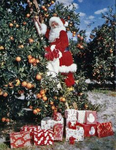 View showing Santa Claus picking oranges in Sarasota, Florida. State Archives of Florida. Tropical Christmas, Coastal Christmas, Christmas Past, Christmas Holidays, Father Christmas, Happy Holidays, Christmas Hanukkah, Christmas Things, Cozy Christmas