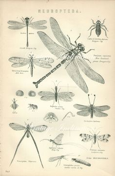 Antique Print, DRAGON FLY Chart 1890 beautiful wall art vintage b/w engraving illustration flying insects. $20.00, via Etsy.