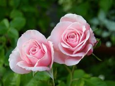 So, I'm researching what roses we want to put in the new rose garden. We have 75 linear feet, with roses on both sides of the fence (yup, pu. David Austin, Garden Club, Love Rose, Bloom, Herbs, Floral, Plants, Sexy, Urdu Poetry