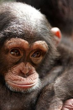 Tacugama Chimpanzee Sanctuary - Sierra Leone an up and coming royal.                                                                                                                                                                                 More