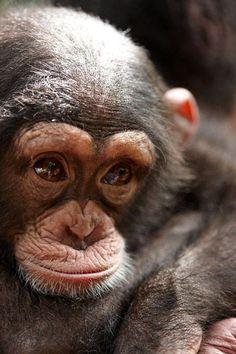 Tacugama Chimpanzee Sanctuary - Sierra Leone an up and coming royal.                                                                                                                                                                                 More