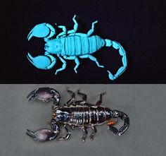 Bioluminescence is different than fluorescence. Bioluminescent organisms produce light via a chemical reaction, fluorescent organisms absorb light and emit it using a different wave length. These scorpions fluoresce blue under ultraviolet light - Bioluminescent: A Glow in the Dark Gallery | Light-Emitting Animals & Fireflies | LiveScience
