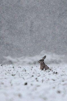 Rabbit winter