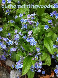 Omphalodes 'starry eyes' - beautiful spring blooming perennial grows in shady to semi shady areas