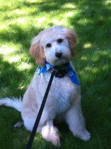 My little Finn.  Mini Labradoodle at 20 weeks sporting his second hair cut!  Cute as crap, huh?