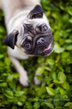 Here is my pugterest assignment. I rescued this lil girl when she was 1 and named her pixel because her foster was a photographer.
