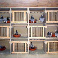 Bertus Nel Pigeons