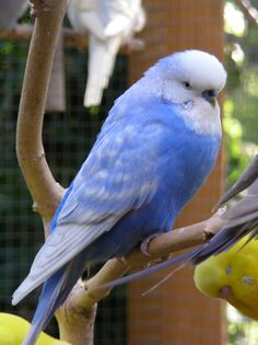 Nature sounds: Parakeets Singing, Talking, Chirping, kissing each other. Budgies talking to each other. Budgie Parakeet, Parrot Bird, Parakeets, Parrots, Cute Birds, Pretty Birds, Beautiful Birds, Conure, Cutest Animals