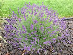 Grow Lavender Like the French: 7 Easy Tips for Anyone! May 29, 2013 · by Kathy Woodard