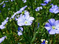 Leinblüte am Bioho Krammer-Pinter Dandelion, Flowers, Plants, Nature, Dandelions, Florals, Plant, Flower, Bloemen