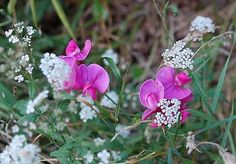 wild-sweetpeas... reminds me of my little niece :)