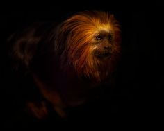 """Golden Lion Tamarin"" – Bristol, United Kingdom - Sue Demetriou  - Featured Photographer Sue's image looks like it should be in Joel"