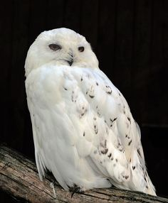 The snowy owl (Bubo scandiacus) is a large, white owl of the typical owl family. They are native to Arctic regions in North America and Eurasia. Snowy owls nest in the Arctic tundra of the northernmost stretches of Alaska, Canada, and Eurasia. They winter south through Canada and northern Eurasia, with irruptions occurring further south in some years. Snowy owls are attracted to open areas like coastal dunes and prairies that appear somewhat similar to tundra. This powerful bird relies…