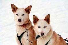Rutas en trineo de huskies por Finlandia