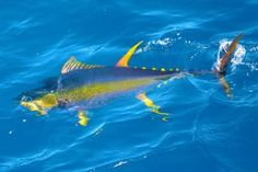 Maldives - Yellow-fin Tuna.