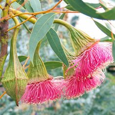 Native to Western Australia has an erect stem with straggling branches and smooth greyish brown bark. A magnificent flowering mallee with flowers that are almost 5 cm across appearing from autumn to spring. Australian Native Garden, Australian Native Flowers, Australian Plants, Australian Wildflowers, Cactus, Seeded Eucalyptus, Botanical Art, Native Plants, Wild Flowers