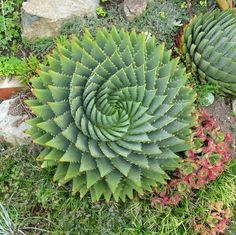 Aloe Polyphylla Spiral Aloe Seeds Succulent Plants 5pcs Free Shipping-in Bonsai from Home & Garden on Aliexpress.com