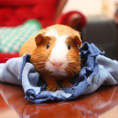 The Guinea Pig Daily: Bubu