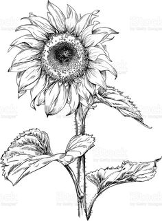 Sunflower Sketches, Sunflower Illustration, Sunflower Drawing, Sunflower Tattoos, Pencil Drawings, Art Drawings, Tattoo Drawings, Sunflower Cards, Sunflower Types