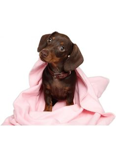 Buy Wag Blankies from A Pet's Life Online Shop - the original online pet products shop in South Africa. Pet Life, Labrador Retriever, Africa, Pets, Blankets, Animals, Labrador Retrievers, Animales, Animaux