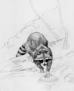 sketches on racoons