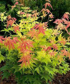 Erable du japon 39 sangokaku 39 arbuste erable et erable du japon - Erable du japon orange dream ...