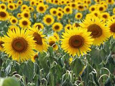 A 134-year-old dairy farm in rural Pulaski reinvents itself as an artisan sunflower oil business.