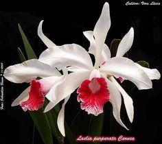 orquídea - laelia purpurata cárnea