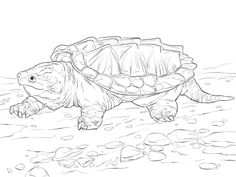 Common snapping turtle | Field Herping | Pinterest | Common snapping ...