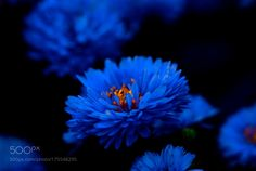 Blue chrysanthemum by justiceedinf. @go4fotos