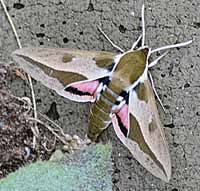 Spurge hawk moth found in Michigan List Of Insects, Hawk Moth, Beneficial Insects, Fashion Sites, Caterpillar, Bugs, Butterflies, Riddler, Beetles