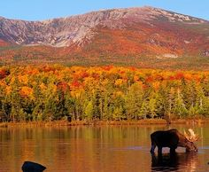 Moose Baxter State Park Maine Oct, 2012. Most beautiful place on earth! #HOME