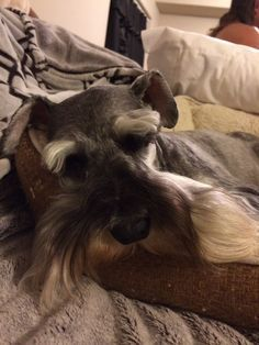 The beautiful face, eyes and beard of a mini schnauzer, no matter what they are doing they always look so cute!! How can you not love a mini schnauzer the most loving little dog of them all❤️✨Zack