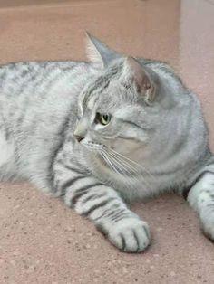 #cat #kitty #AmericanShorthair Share My Life, American Shorthair, Kitty, Cats, Animals, Little Kitty, Gatos, Animales, Animaux