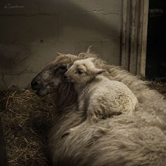 Studio Shot Of Sheep Against Black Background Stock Photos and Pictures Farm Animals, Animals And Pets, Cute Animals, Wild Animals, Mundo Animal, My Animal, Wild Life, Beautiful Creatures, Animals Beautiful