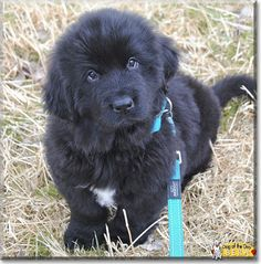 Read Bera's story the Newfoundland from Batenfjornsra, Mre og Romsdal, Norway and see her photos at Dog of the Day http://DogoftheDay.com/archive/2014/April/17.html .