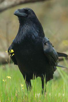 Common Raven by Fernando Sanchez de Castro on 500px