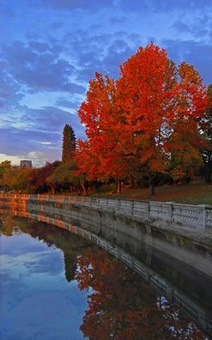 Red Maple, Stanley Park in Vancouver Canada Copyright: Alvin Brown