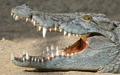 crocodile_with_open_mouth-1920x1200.jpg (1920×1200)