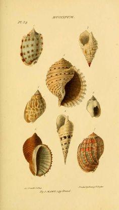1823 - Mawe's Conchology. by John Mawe. - via Biodiversity Heritage Library. Beautiful illustrations of sea shells.