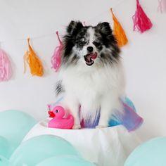 Minty's Birthday Week on mintymondays.com_Cake #MintyMondays #JOYFETTI #pomeranian