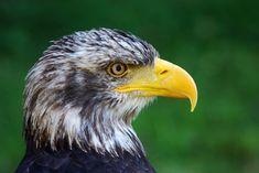 Park, Adler, Bird, Animal, Bird Of Prey #park, #adler, #bird, #animal, #birdofprey