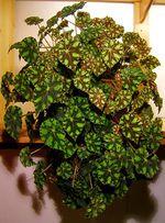 Anexo:Especies de Begonia - Wikipedia, la enciclopedia libre