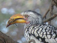 Hornbill with grasshopper breakfast  mata mata camp kgalagadi